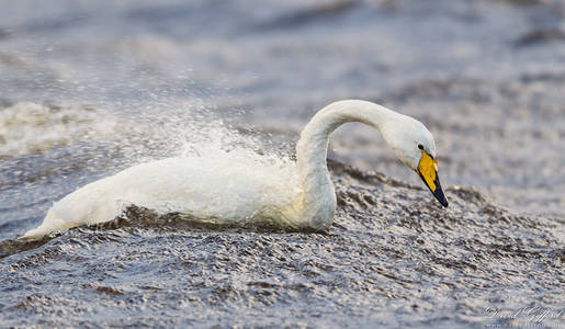 Whooper Swan Riding Waves
