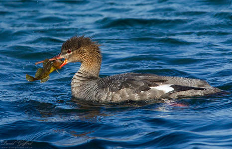 Red-breasted Merganser with Catch