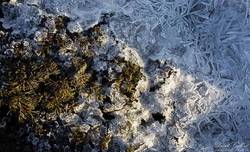 Ice Crystals amongst Seaweed
