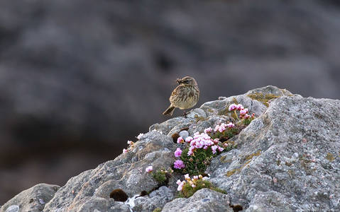 Rock Pipit in Summer