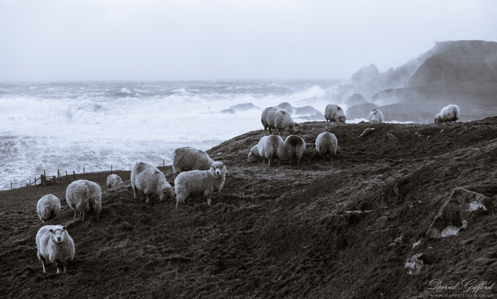 Sea Sprayed Sheep