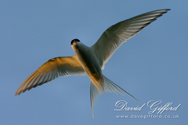 Tirrick in Flight (Arctic Tern)