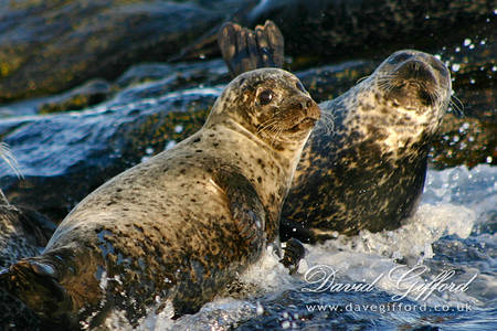 Common Seals - On Da Rocks