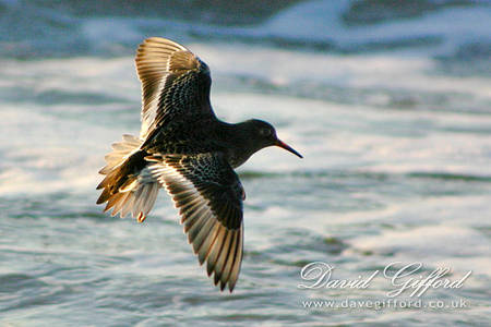 Purple Sandpiper in Flight
