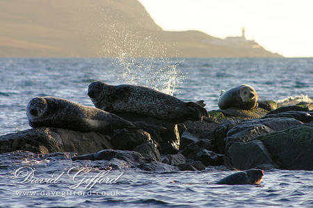Bressay Lighthouse Seals