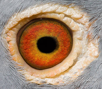 Eye of the... Pigeon?