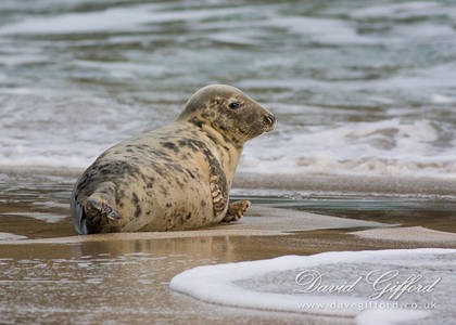Female Grey Seal