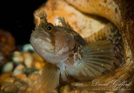 Yarrell's Blenny (Chirolophis Ascanii)