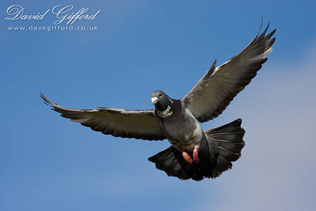 Pigeon in Flight