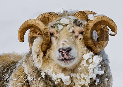 Portrait of a Ram