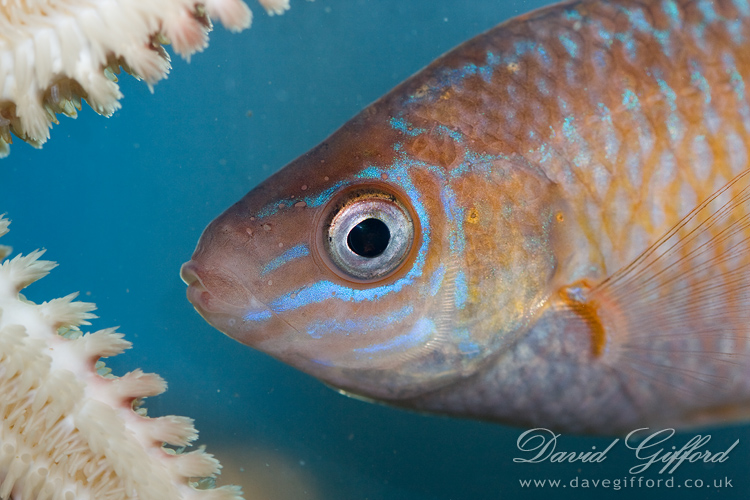 Rock Cook Wrasse