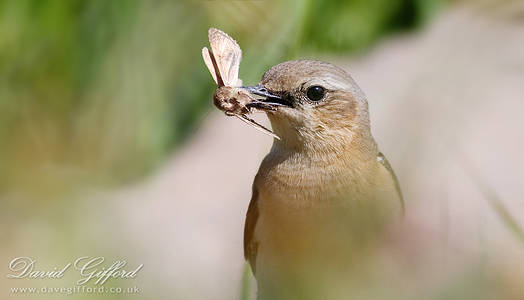 Wheatear with Prey