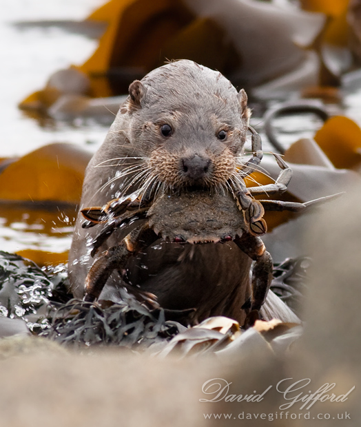 Otter with Velvet Crab