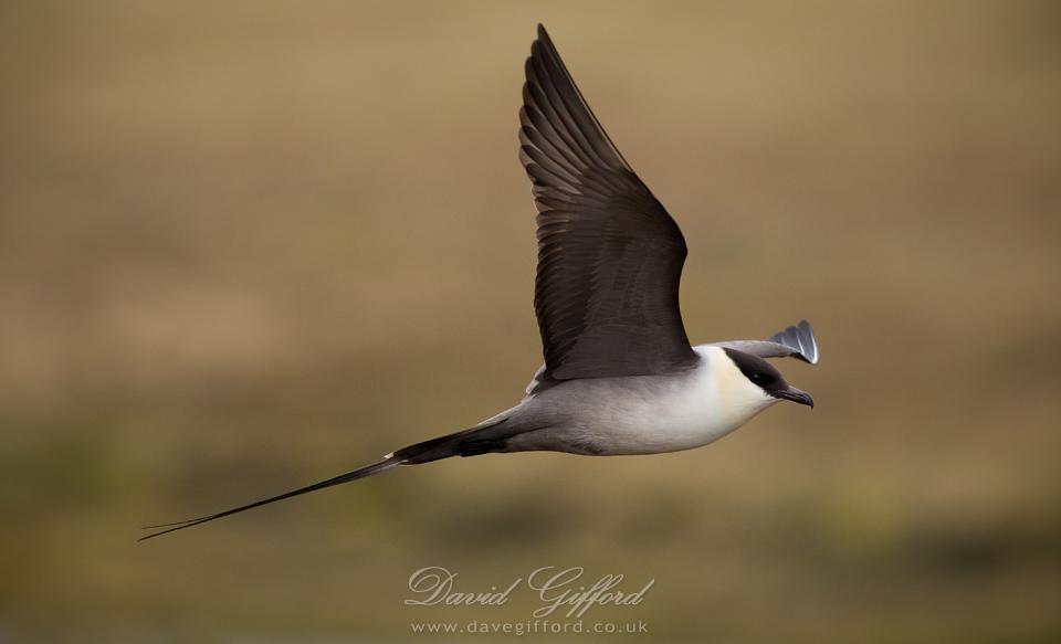 Long-tailed Skua - Cyberbirding