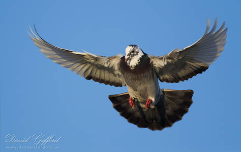 Pigeon in Flight (2)