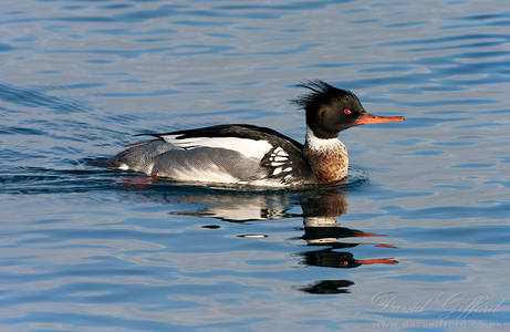 Red-breasted Merganser (2)