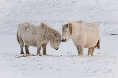 Shetland Ponies in the Snow