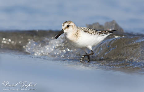 Shoormal Sanderling