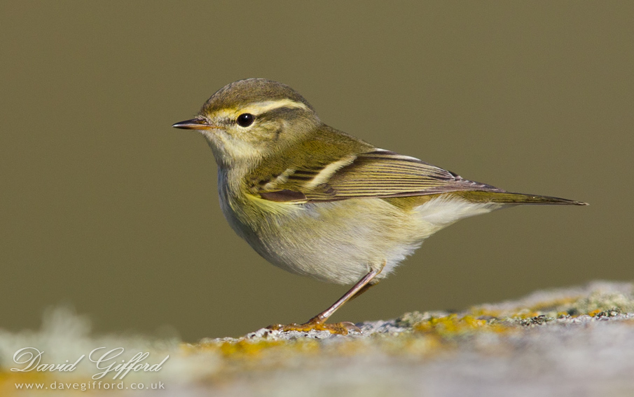yellow browed warbler david gifford photography. Black Bedroom Furniture Sets. Home Design Ideas