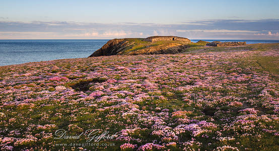A Carpet of Seapinks