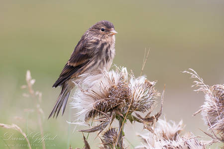 Hairst Twite
