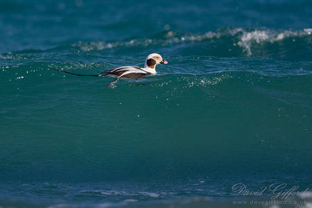 Long-tailed Duck Riding the Surf