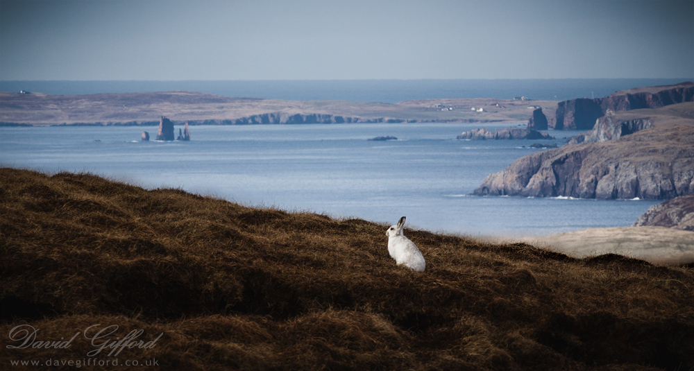 Mountain Hare in the Shetland Landscape