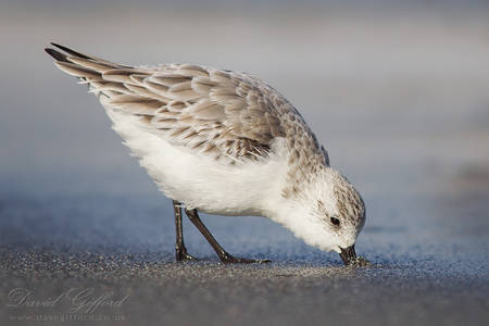 Sanderling at the Beach