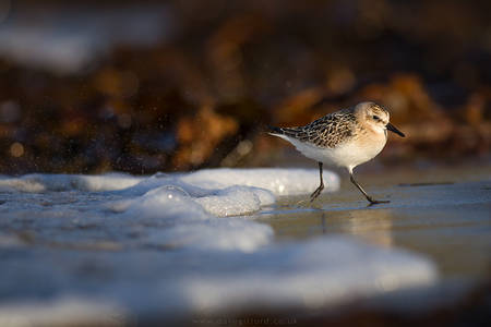 Sanderling in the Spray