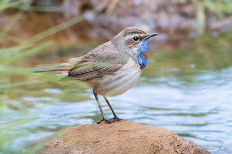 Bluethroat II