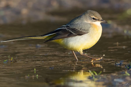 Colourful Grey Wagtail