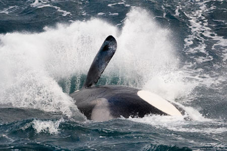 Killer Whale Splash