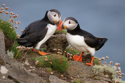 Puffin Pair II
