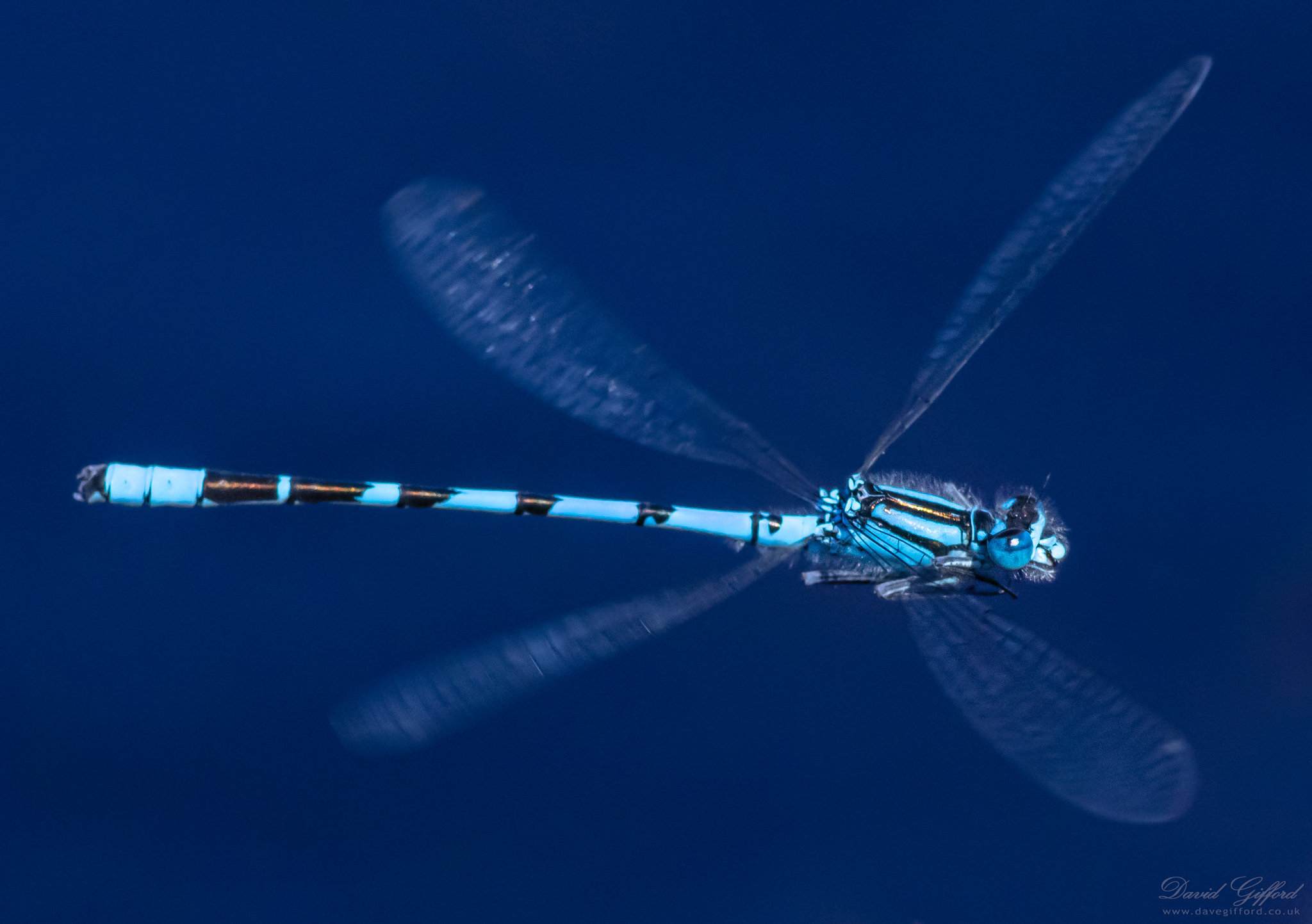 Shetland Damselfly in Flight