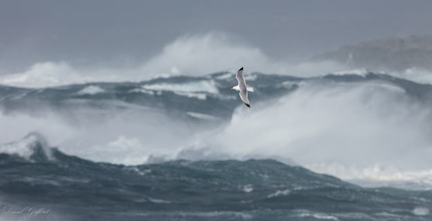 Gull in Storm