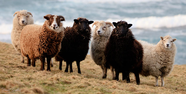 Shetland Sheep Wool Colours