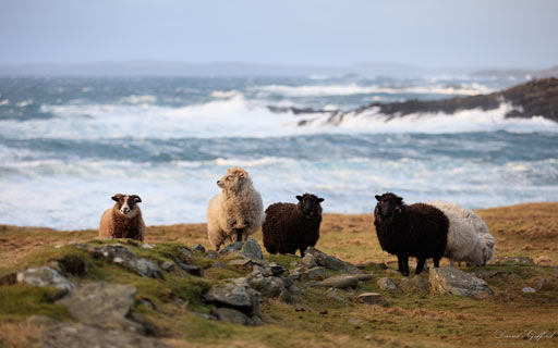 Windswept Shetland Sheep